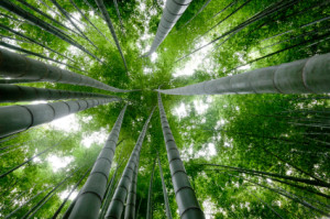 Chinese-Bamboo-Tree[1]